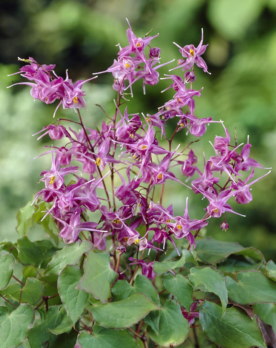 Resultado de imagen de planta natural  Epimedium